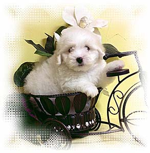 Coton de Tulear Puppy Enjoying Springtime