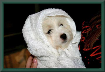 Breeders Of Excellence Grooming Information Coton De Tulear